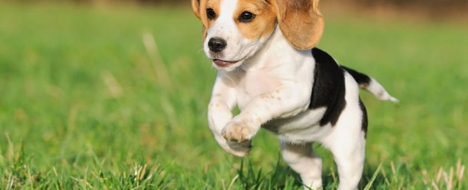 beagle-dog-breed-1024x682
