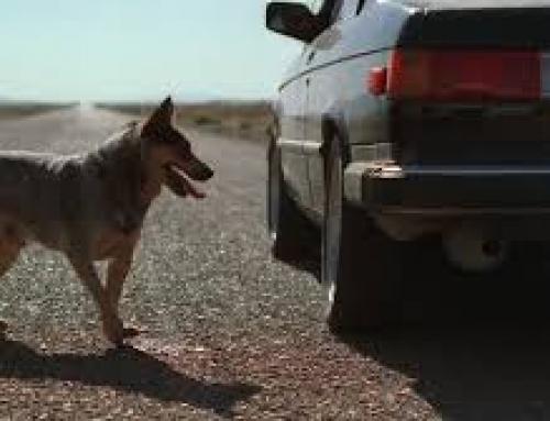 החתול נדרס, הכלב נפגע מרכב נוסע, מה עושים?