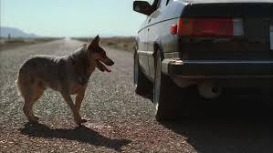 כלב נדרס